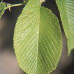 Ulmus_rubra_leaf