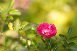 Pink Flower, Nature at Karuna Detox Retreats